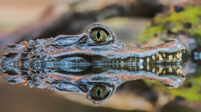 Close-up view of a Spectacled Caiman Royalty Free Stock Photos