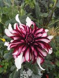 Close-up view of spectacular Dahlia `Contraste` garnet and white decorative