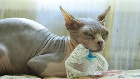 Close up view of sphinx cat lying on sofa headrest. stock footage
