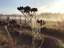 Close up view of a spiders web of against sunrise in the field with fog stock photos