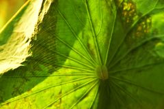 The Spiderweb on the Lotus Leaf royalty free stock images