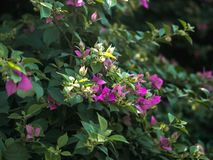 Close up view of stalk pink bougainvillea flowers and green leaves in sunset nature garden royalty free stock photo