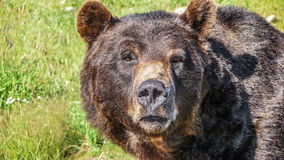Close-up view of staring grizzly bear in the Canadian wilderness Stock Photos