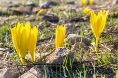Sternbergia clusiana, wild flower in full autumn bloom. Close up view of Sternbergia clusiana, a bulbous flowering plant in the family Amaryllidaceae, with large royalty free stock photography