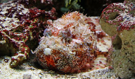 Close-up view of a Stonefish Stock Photography