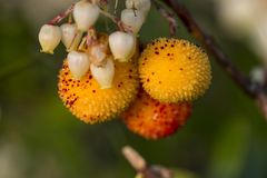Strawberry Tree (Arbutus Unedo). Close up view of an Strawberry Tree (Arbutus Unedo) fruits and flowers Royalty Free Stock Photography