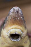 Close up view of sturgeon fish mouth. Close up view of the fresh small sturgeon fish on black fishing net. Fresh starlet fish just taken from the water. Starlet Stock Photography