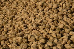 Sugar-beet roots Stock Photography