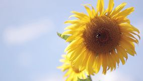 Close-up view of sunflower against the background of the blue sky. Bee harvesting honey from flower. stock video footage