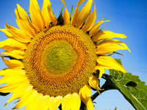 Close-up view of a sunflower with blue sky background. Close-up view of a sunflower Royalty Free Stock Photography
