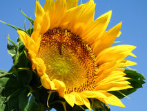 Close-up view of a sunflower with blue sky background. Close-up view of a sunflower Stock Photos