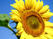 Close-up view of a sunflower with blue sky background. Close-up view of a sunflower Royalty Free Stock Photos
