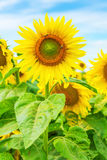 Close up view on sunflower on field Stock Image
