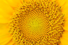 Sunflower full bloom Stock Images