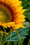 A Close Up View of a Sunflower. A macro shot of a sunflower. The petals looking up to the sun stock image