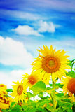 Close up view sunflowers on background of the sky instagram stil Royalty Free Stock Images