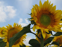 Close-up view of sunflowers Royalty Free Stock Photos