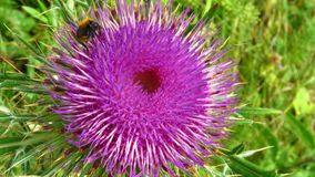 Close up view of super pure / organic milk thistle. Organic herbs. Stock Images