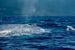 Close up view of a surfacing blue whale stock image