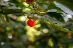 Single red cherry on a branch, cherry tree royalty free stock photos