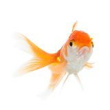 Close up view of swimming goldfish. Close up of swimming goldfish, isolated on white. Concept of wishes fulfilment and natural beauty stock photo