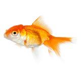 Close up view of swimming yellow fish Royalty Free Stock Photos