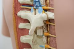 Close-up view of thoracic spine model. Close-up view of human thoracic spine model royalty free stock images