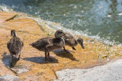 Close up view of three ducks ducklings. On shallow water stock photo