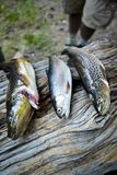 Three trouts lying on tree trunk. Close up view of three fresh caught trouts lying on tree trunk Royalty Free Stock Photos