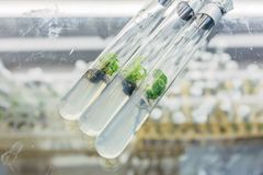 Close-up view to microplants of cloned oak with  in test with tubes nutrient medium Royalty Free Stock Image