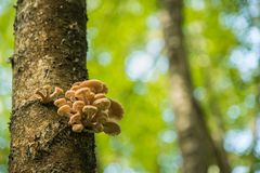 Close up view to mushroom bunch located on a birch trunk royalty free stock image