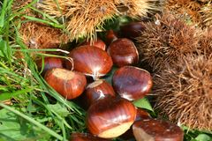 Close-up view to a ripe chestnut fruits still-life in autumn. stock photos