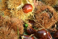 Close-up view to a ripe chestnut fruits still-life in autumn. royalty free stock photos