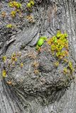 Lime tree foliage and bark. Close up view to young leaves and shoots sprouting from the bark of an old lime tree royalty free stock images