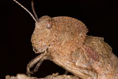 Toad Grasshopper. Close up view of a toad grasshopper on a piece of wood Royalty Free Stock Photos