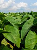 Close up view of tobacco plants stock photos