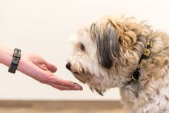 Close up view top of dog paws and human hand - friendship between jack russell terrier foot and human royalty free stock image