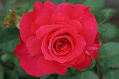 Close-up view of the top of the flower bright dark pink roses Ca. Close-up view of the top of the flower varieties Caucasian bright caucasian dark pink rose on a Royalty Free Stock Photo
