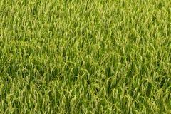 Close-up view top rice fields. Stock Photos