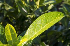 Close-up view of tree leaves with drops of water after morning r stock image