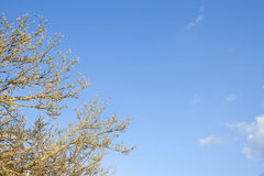 Close-up view of tree in spring against blue sky in Winter Royalty Free Stock Photo