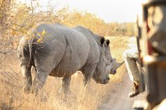 Close up view of an two African White Rhino stock photography