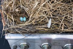 A large straw birds nest built in a propane gas grill. Close up view of two blue eggs in a light brown straw and feather nest. The nest is contained in a stock image