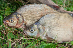 Close up view of two common bream fish on green grass. Catching Royalty Free Stock Images