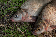Close up view of two common bream fish on green grass. Catching Royalty Free Stock Photo