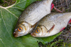 Close up view of two freshwater common rudd fish on big green le Stock Photography
