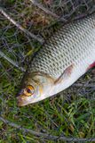 Close up view of two freshwater common rudd fish on black fishin Stock Photo