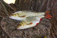 View of two common rudd fish on natural vintage wooden backgroun Stock Image