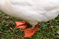Close up view of two orange legs of white goose. Standing on green grass stock photo