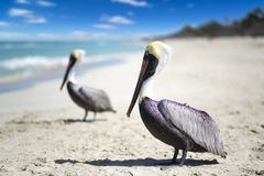 Close-up view of two pelicans on a ocean beach in Cuba, beautiful water and sky. Blurred background, bokeh, free space.  royalty free stock images